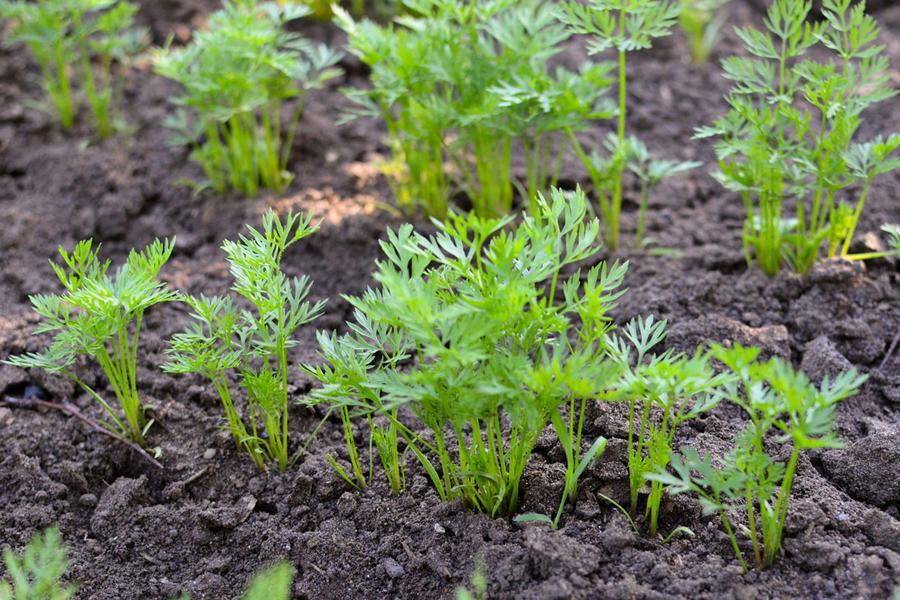semis de carottes cultivées avec la lune