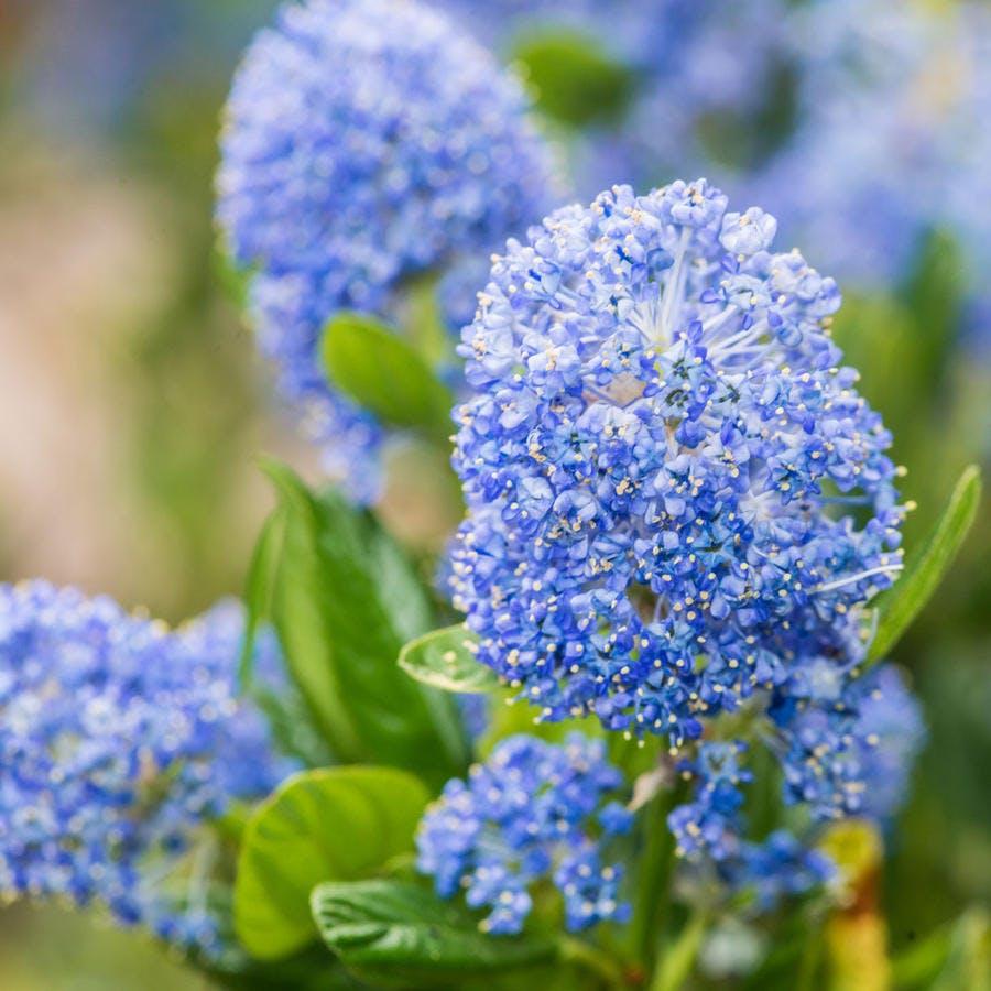 Zoom sur une fleur bleue de céanothe.