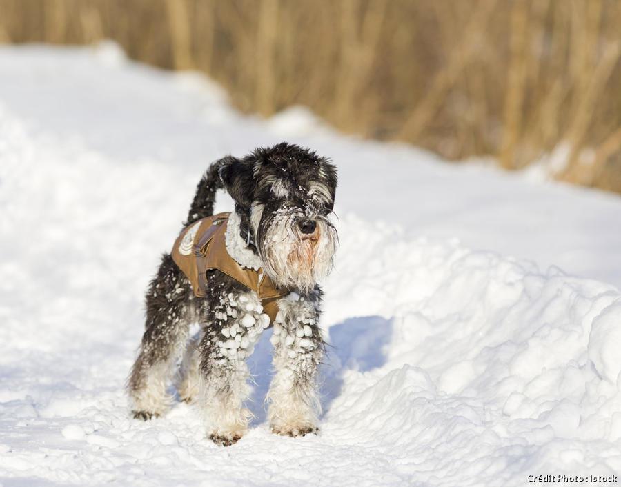 dja_chien-manteau-neige_istock.jpg