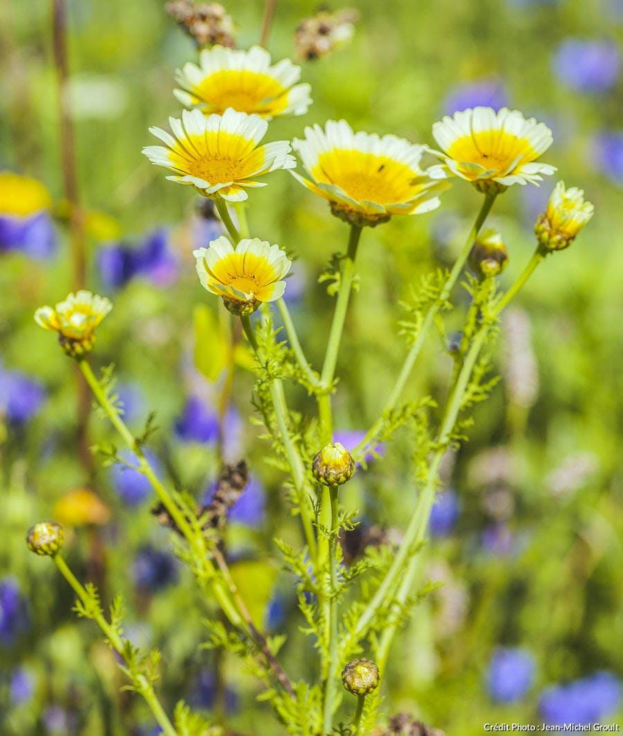 Chrysanthème des moisson