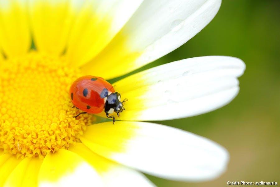 Une coccinelle sur une fleur de marguerite