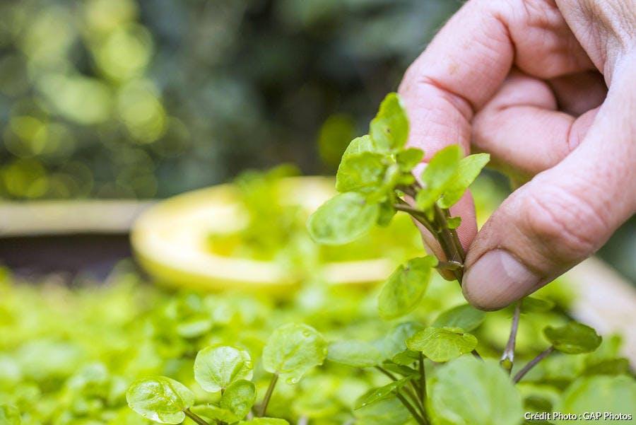 Récolte du cresson