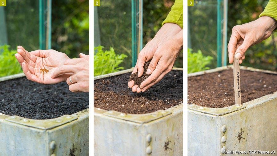 Semi du cresson de jardin