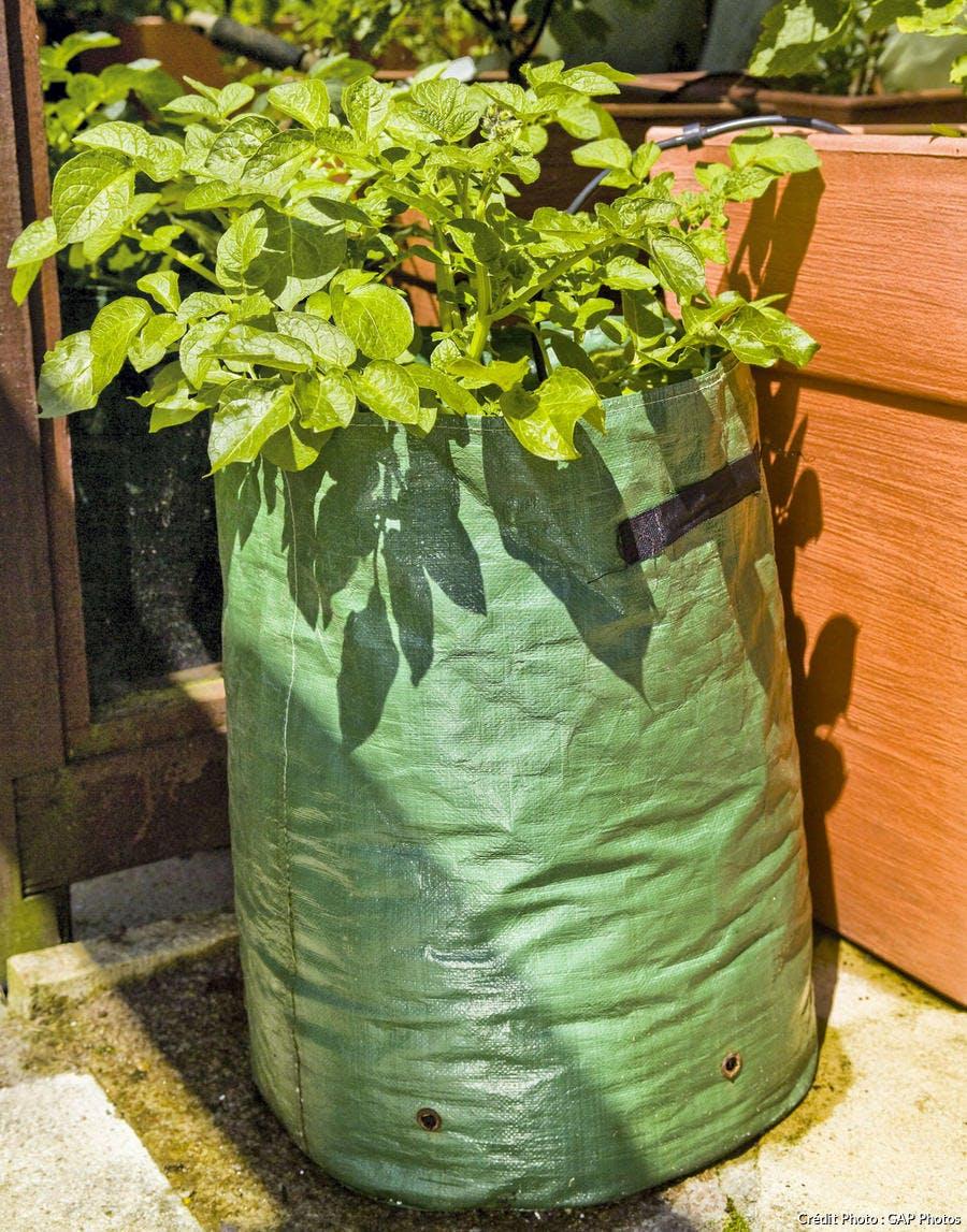 Cultiver les pommes de terre en sac