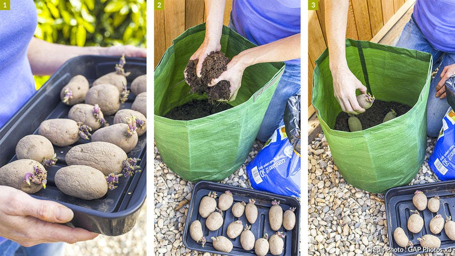 Planter les pommes de terre en sac