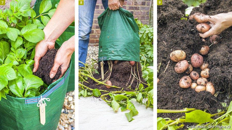 Récolter les pommes de terre en sac