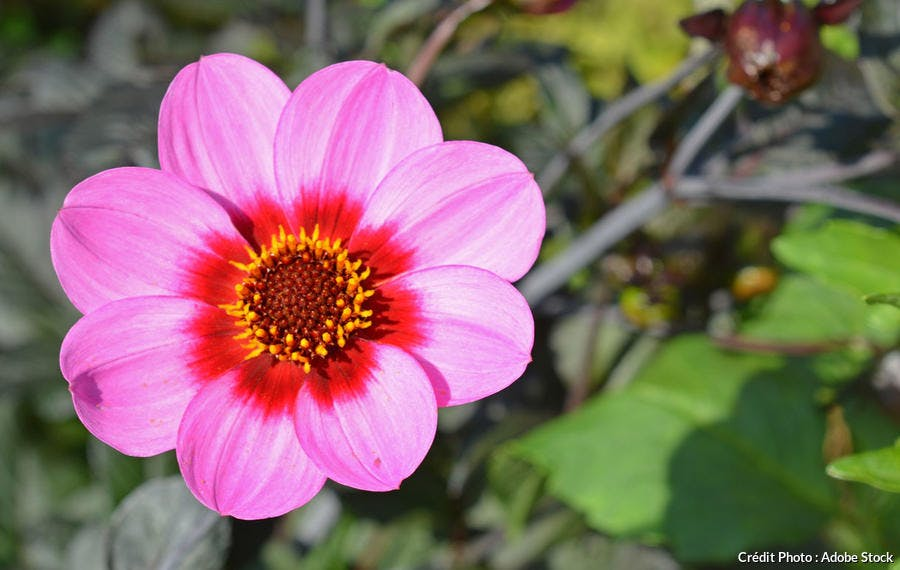 Dahlia simple rose
