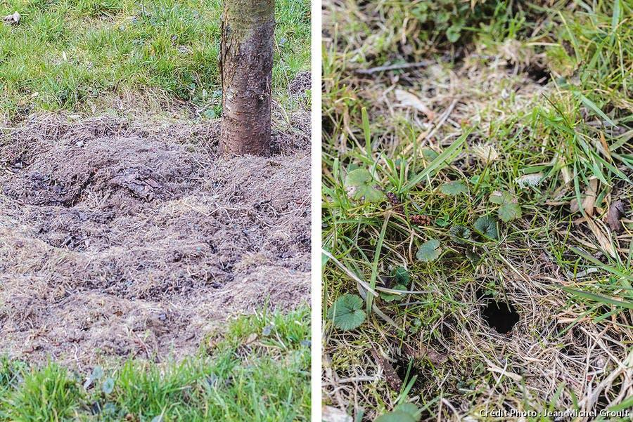 Trous de campagnols dans la pelouse