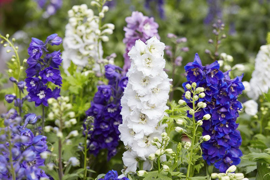 massif de delphiniums