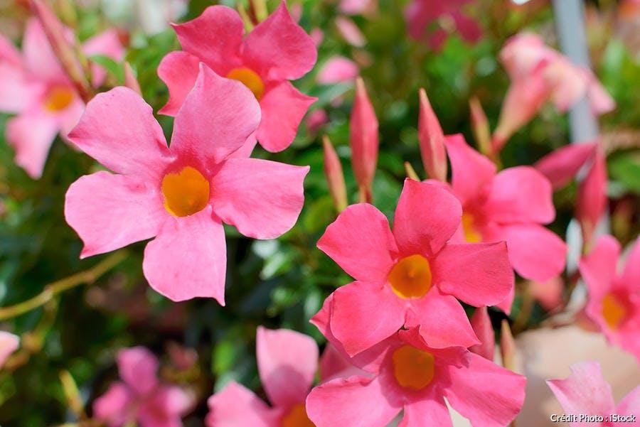 dipladénia fleur d'été rose