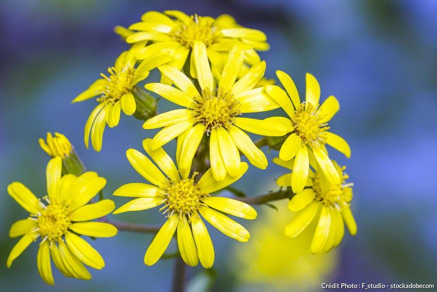 Farfugiums jaunes