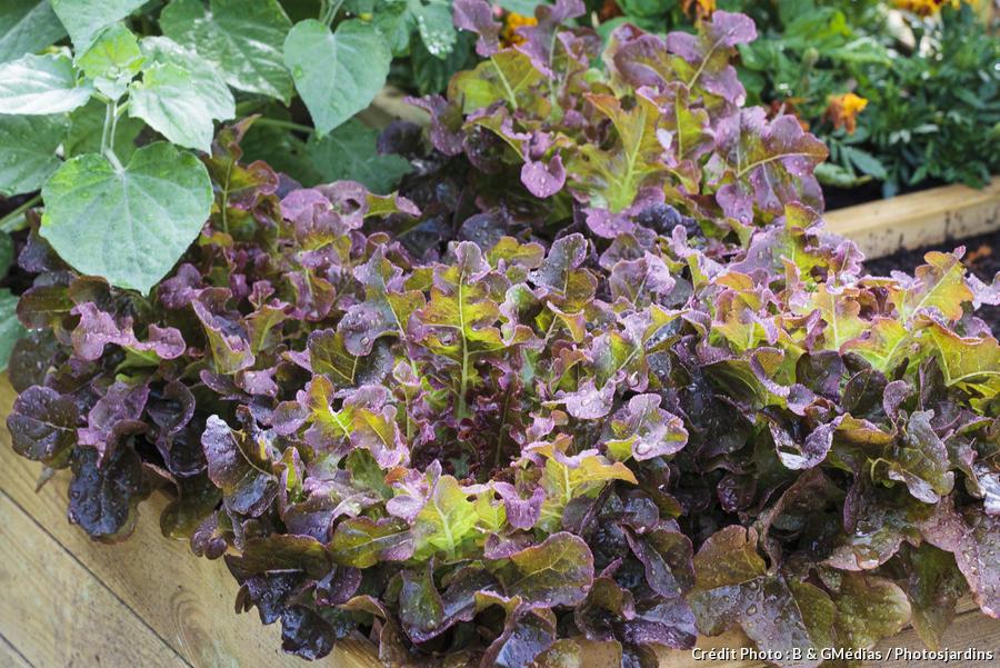 Salades à coeur dense