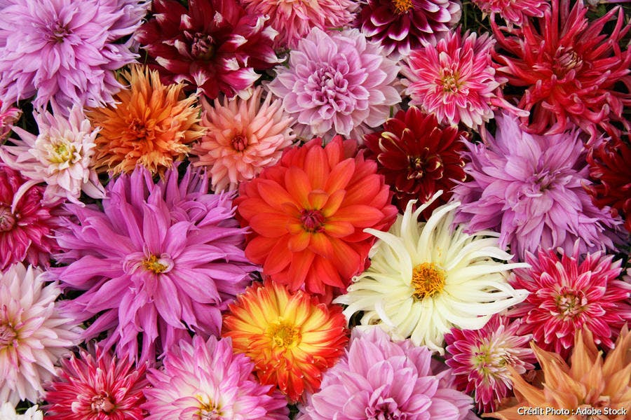 Fleurs de dahlias multicolores