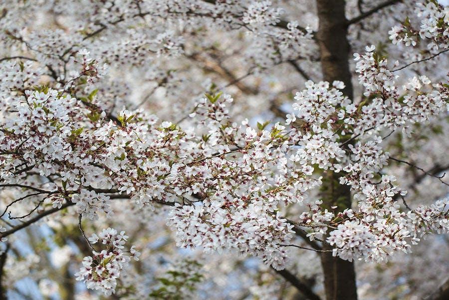 dja_floraison-cerisier_bgm.jpg