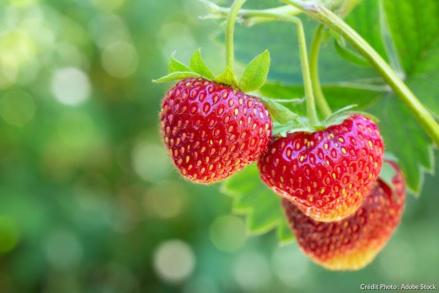 Branche avec fraises