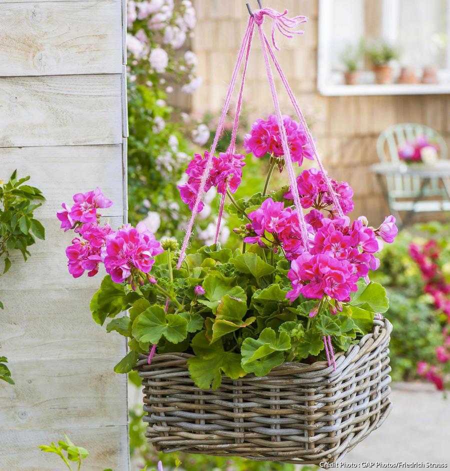 Suspension de géraniums rose