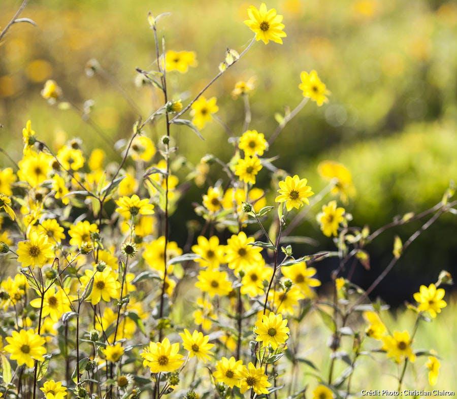Hélianthes jaunes