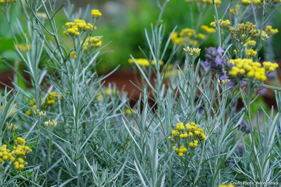 Helichrysum plante curry