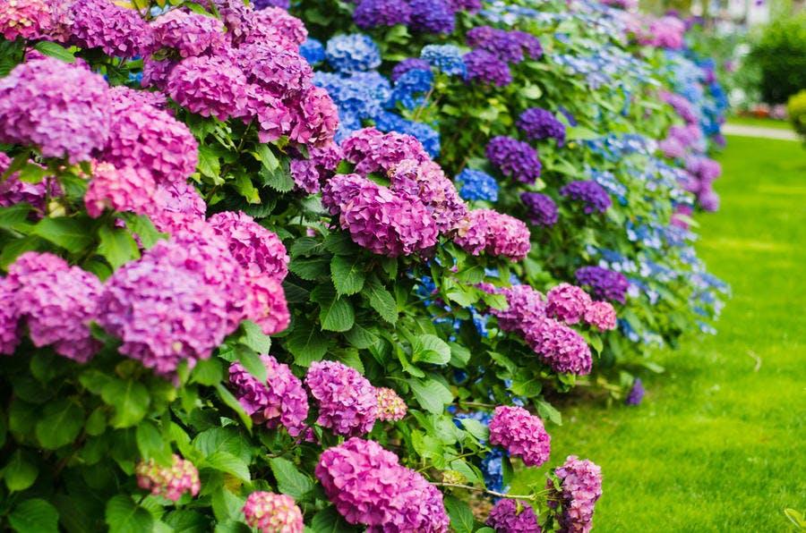 Haie d'hortensias bleus et roses