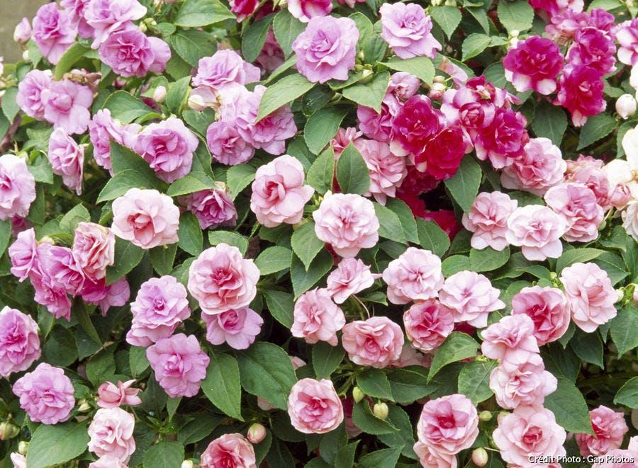 Impatience à fleurs doubles
