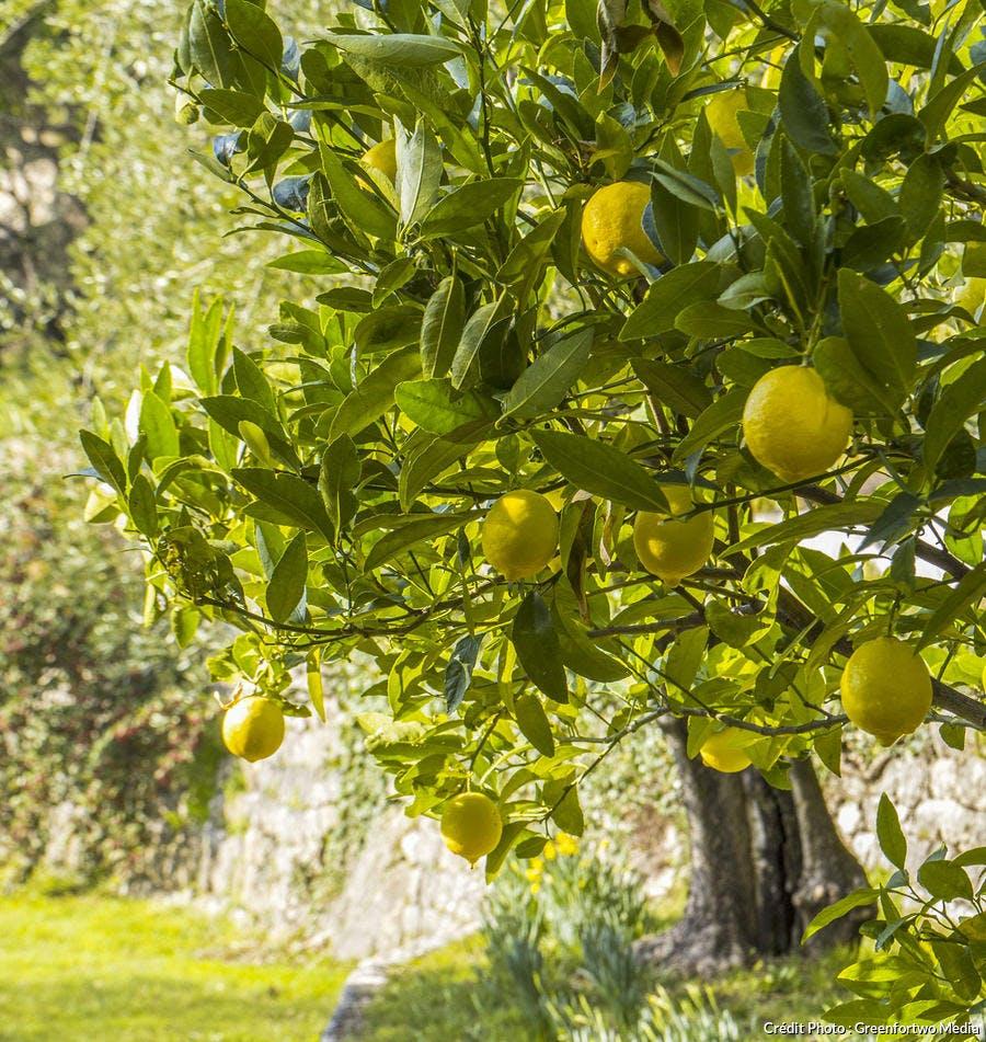 Un citronnier