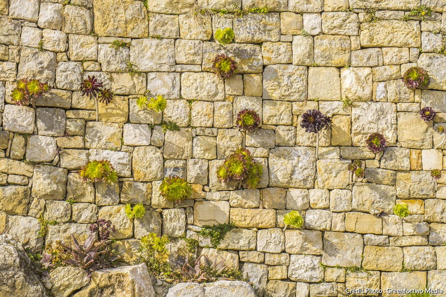 aéoniums dans un mur