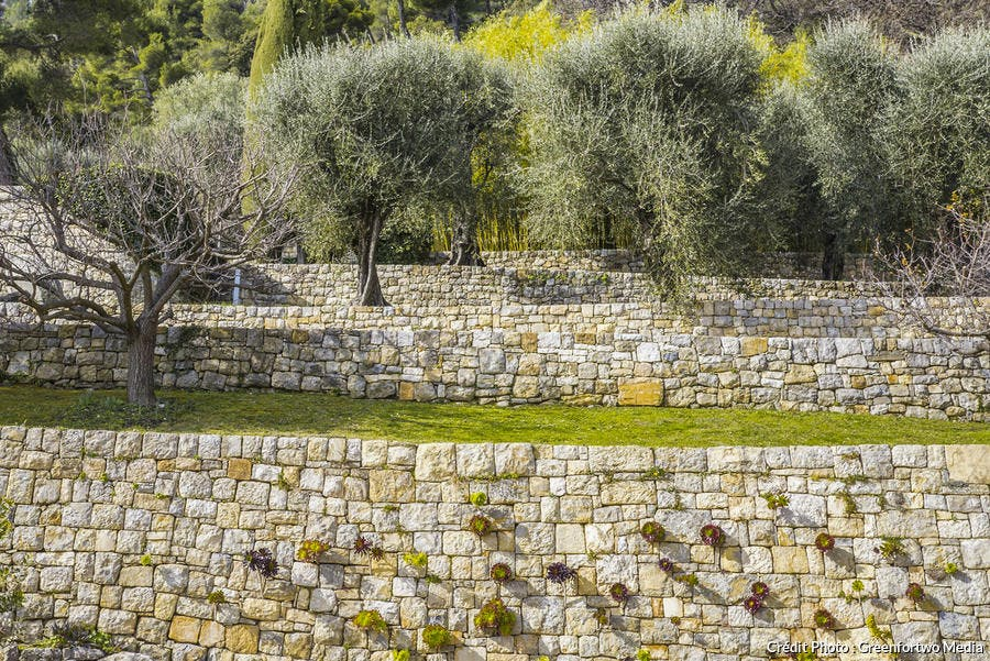 Alignement d'oliviers