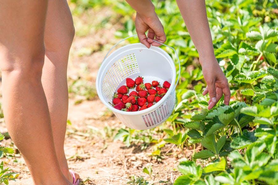 Cueillette fraises