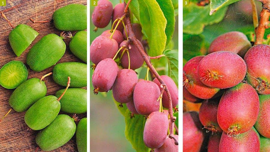 kiwai à peau rouge ou verte