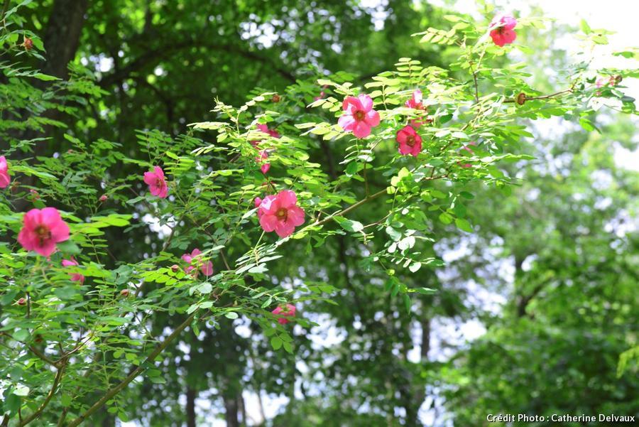 La javelière rosier en fleur