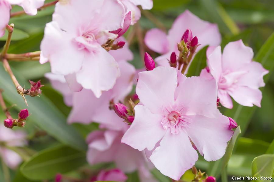 gros plan fleur de laurier-rose
