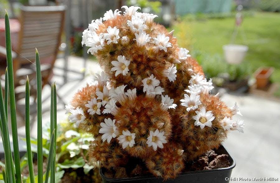 Mammillariaelongata