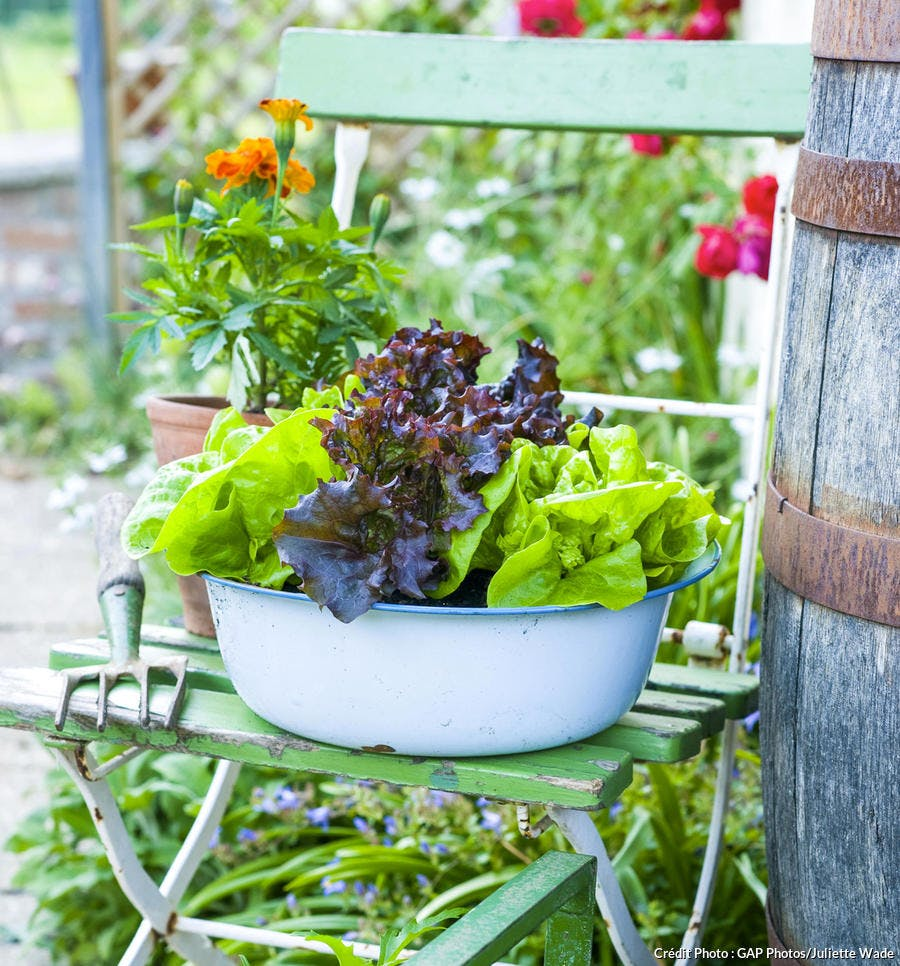 Salade dans un mini potager