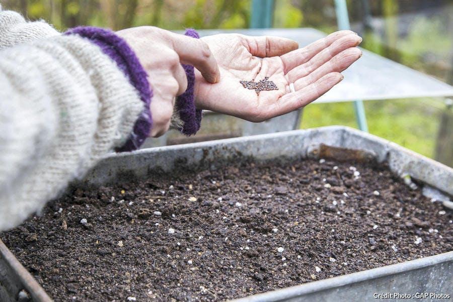 Semis des graines de mizuna