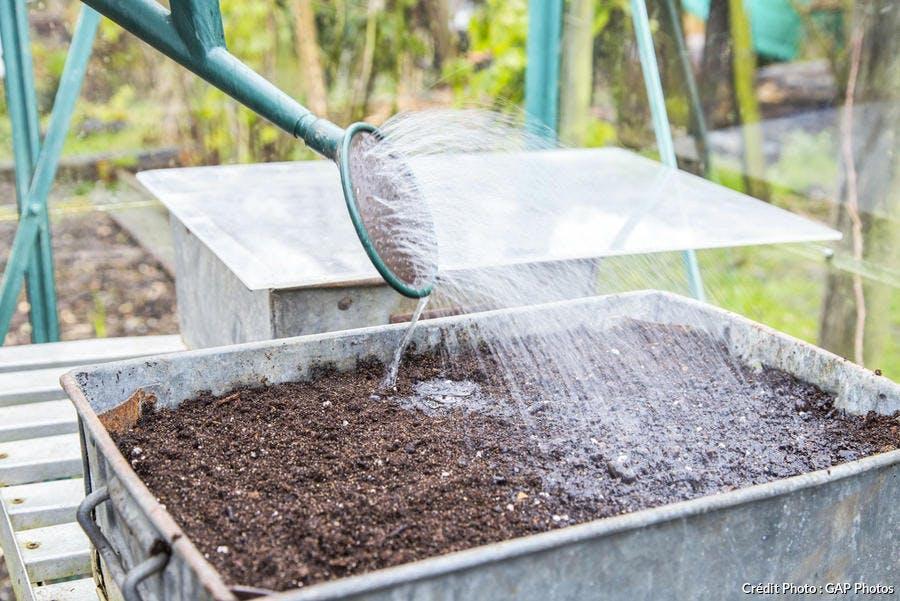 Arrosez les graines de mizuna