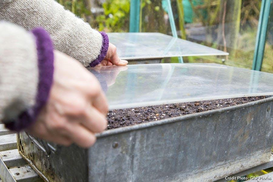 Couvrez vos semis de mizuna