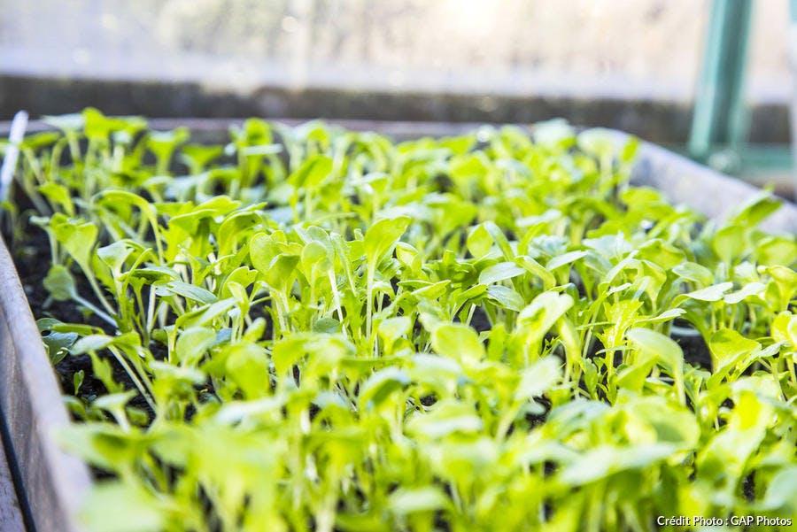 Plantules de mizuna