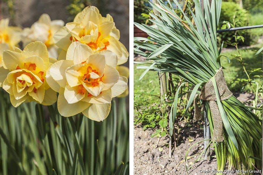 Narcisse en fleur et feuilles liées
