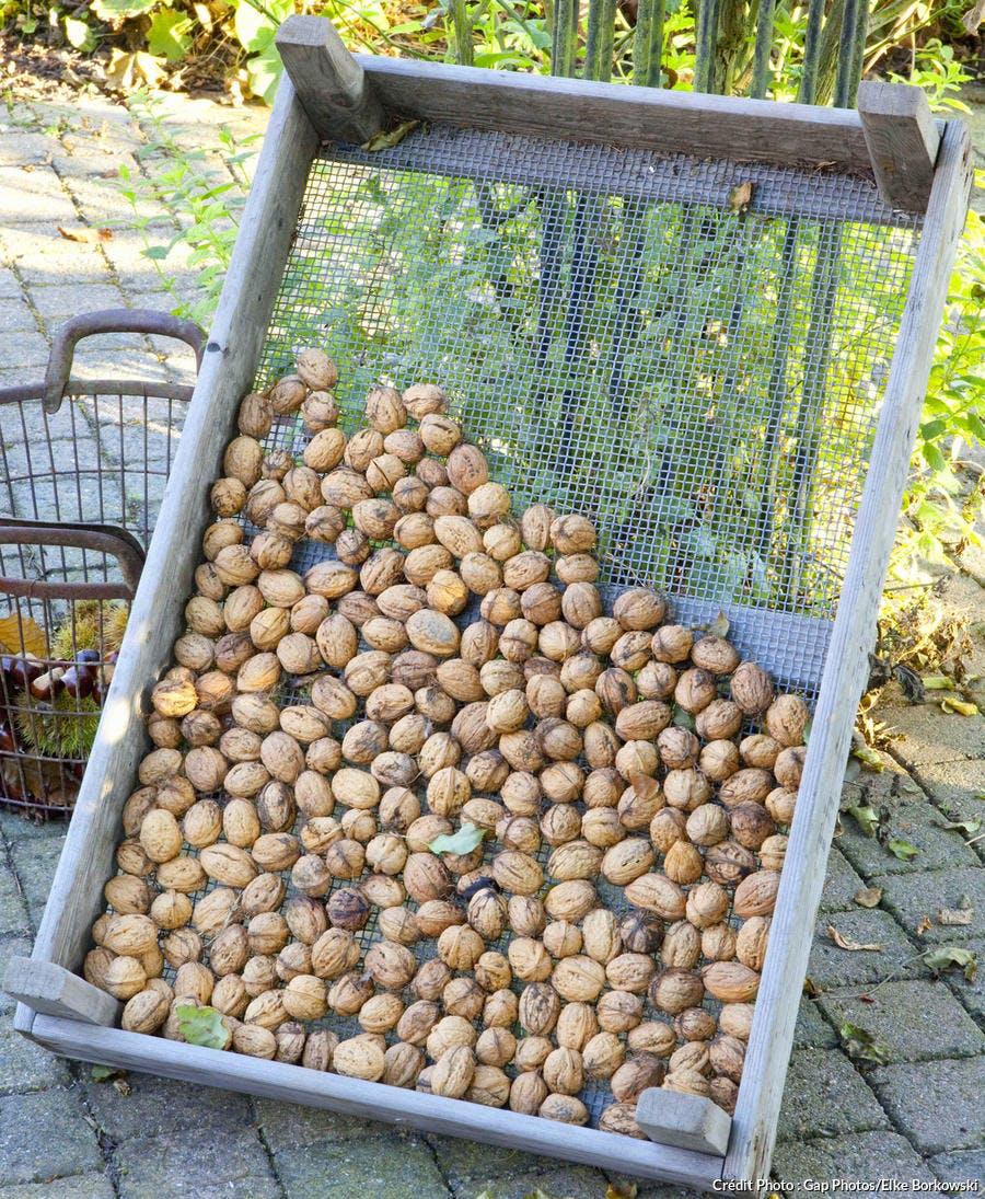 Récolter les noix