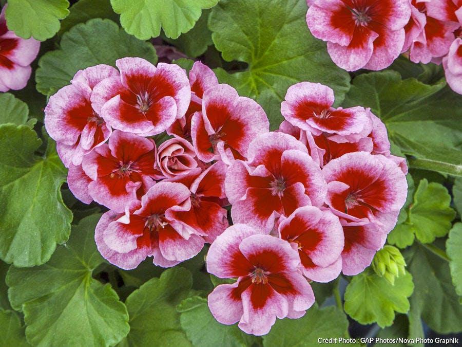 Pélargonium 'Calliope Rose Splash'