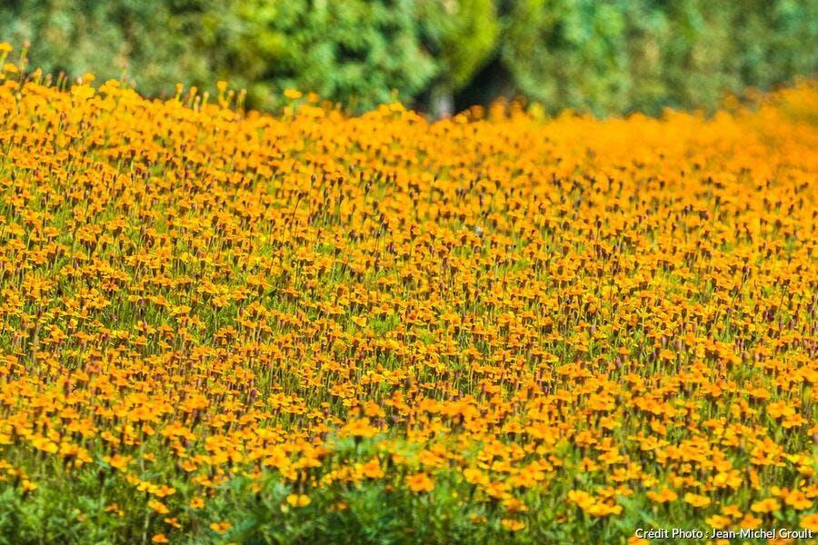 engrais verts champ de fleurs jaunes