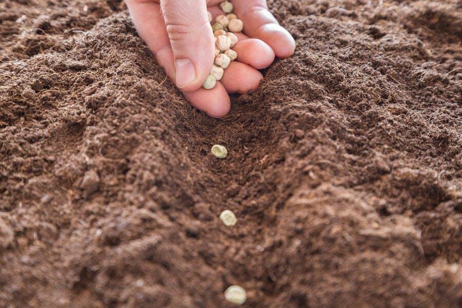 Semis de petits pois au potager