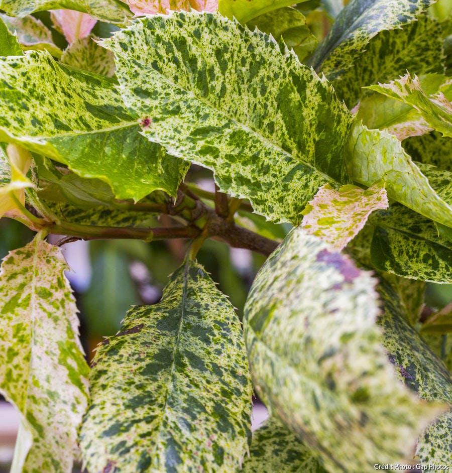 Photinia à feuilles panachées
