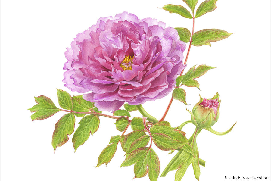 dja_pivoine-rose-aquarelle_dr.jpg