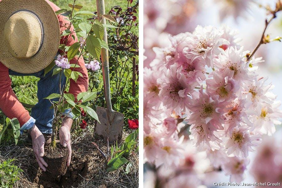 Plantation d'un cerisier à fleur au printemps