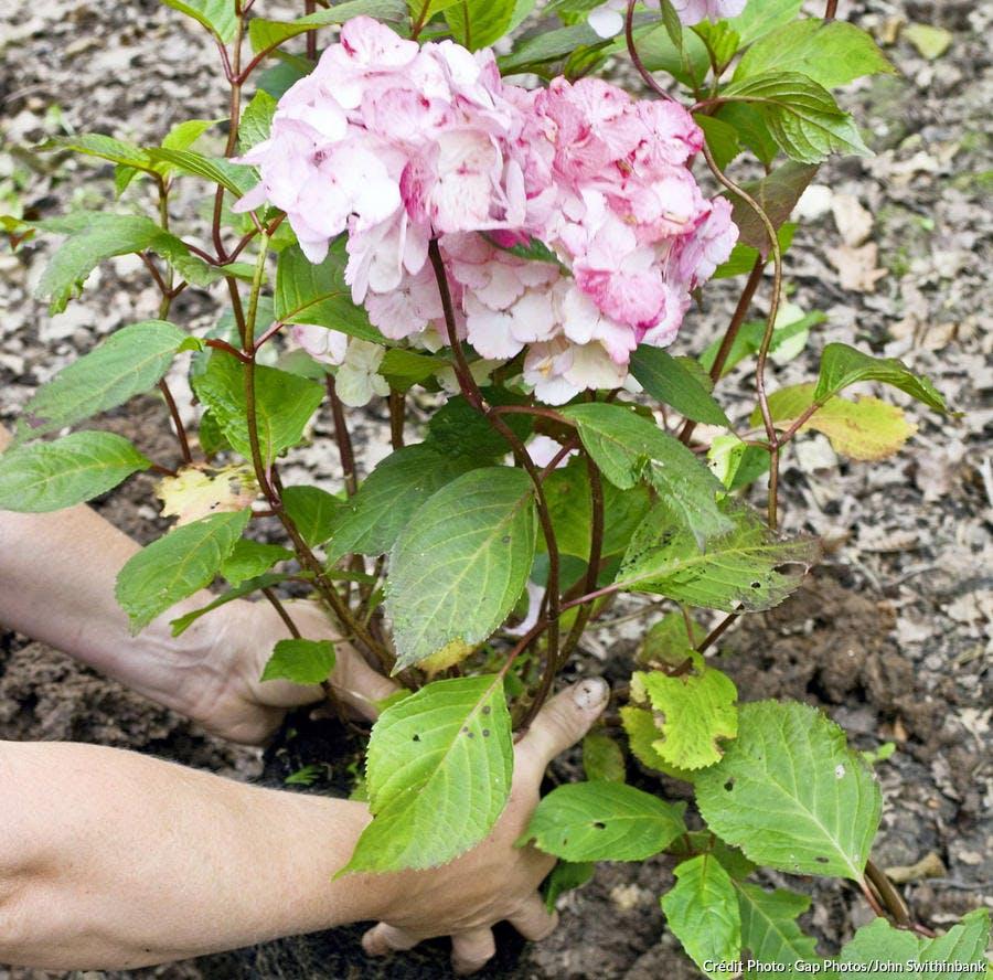 Plantation du massif de fleurs à l'ombre