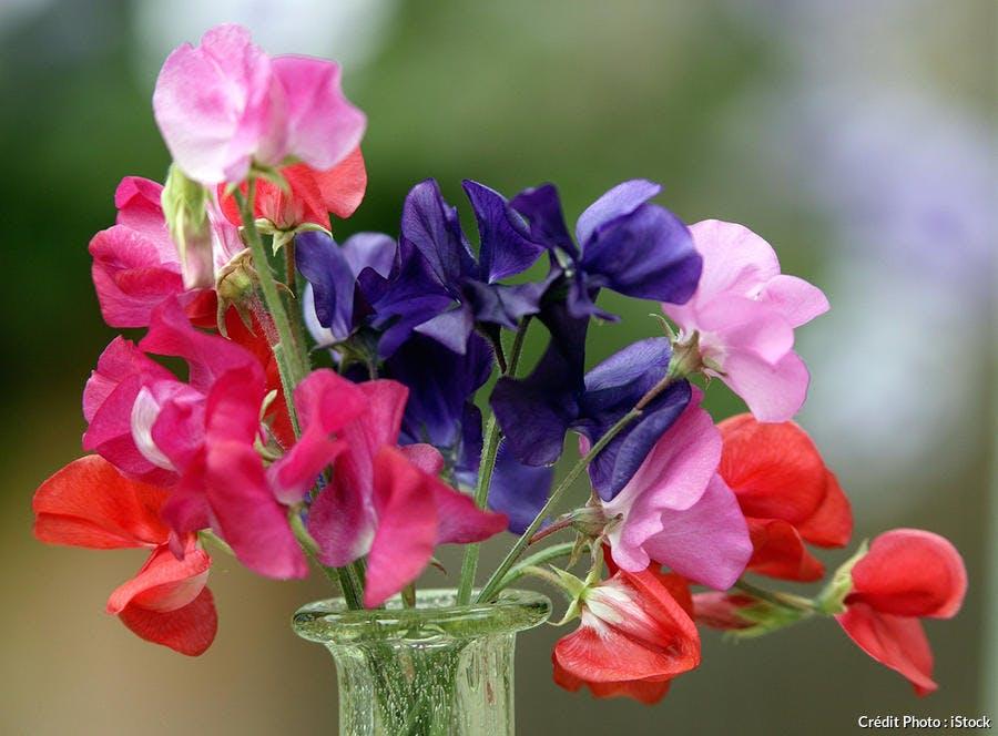bouquet de pois de senteur