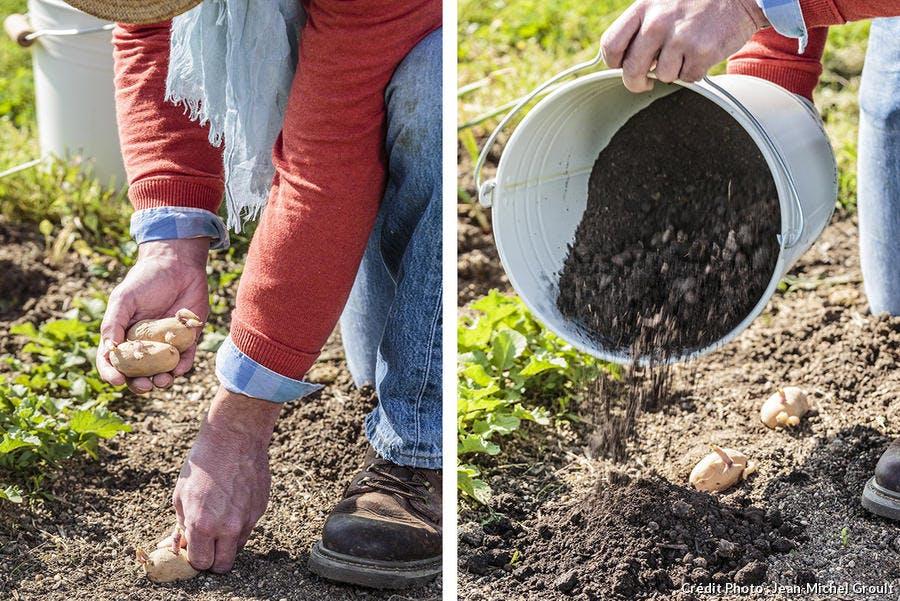Pomme de terre plantées sous compost