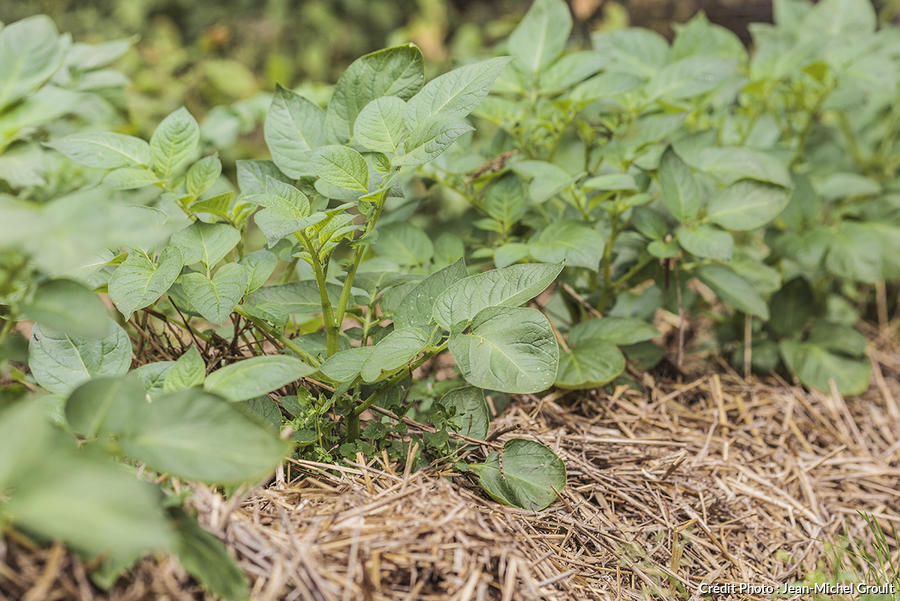 Pomme de terre cultivée sur paille