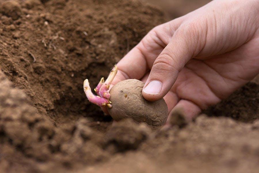 plantation de la pomme de terre dans un sillon